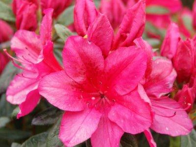 Plantning af Rhododendron