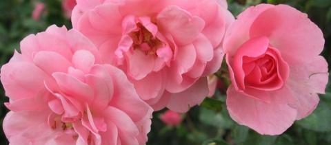 Plantning af roser - Hørsholm Planteskole