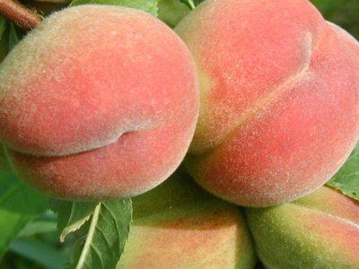Plantning af frugt- og prydtræer